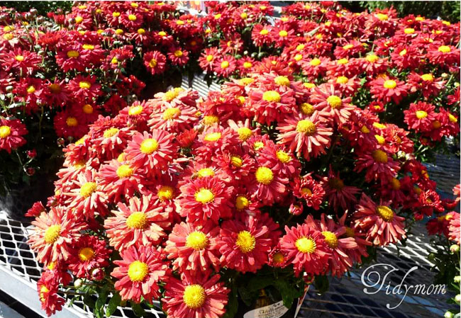 Pink and Yellow Mums at TidyMom.net