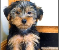 "Cullen at 9 weeks old. He's a ""full size"" yorkie and should grow to be about 10-12 pounds"