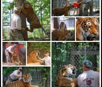Tiger Collage TidyMom