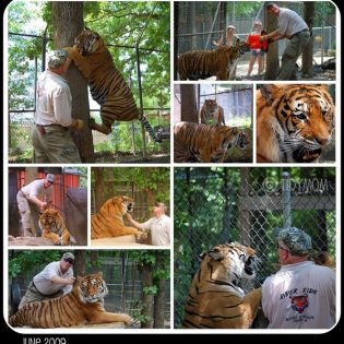 Tiger Collage TidyMom