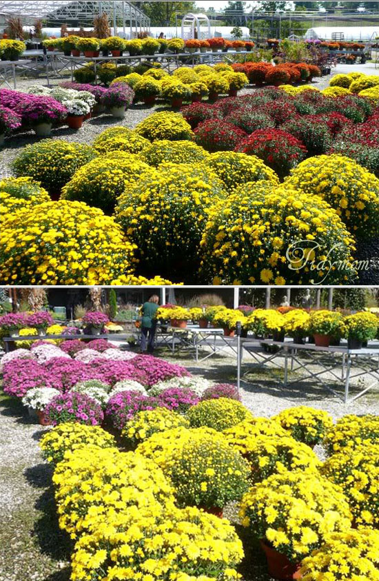 Assorted Mums at Nursery