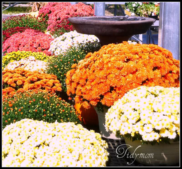 Assorted Fall Mums at TidyMom.net