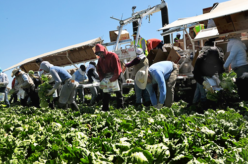 Harvesting Dole Lettuce