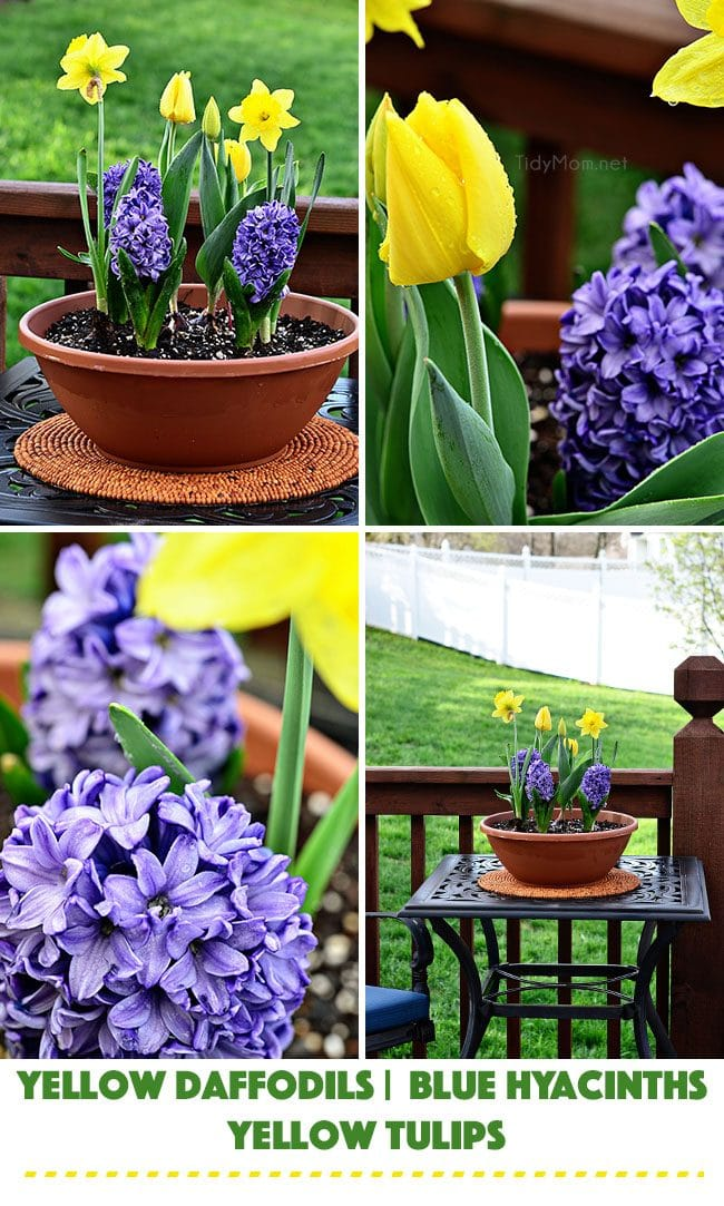 Container Garden: Planing flowers with Miracle Gro. Yellow Daffodils, Blue Hyacinths and Yellow Tulips